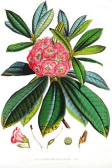 An image of Rhododendrum sketch c. 1850